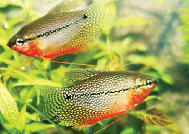 鱼类品种,养鱼萌新的小百科(珍珠马甲鱼&蓝曼龙&五彩丽丽)