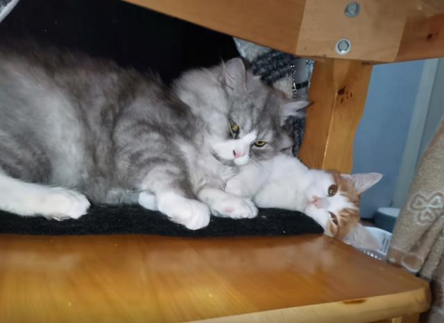 別人要安樂的貓,被我撿了回來,8個月後,這顏值不虧 家有萌寵 第9张