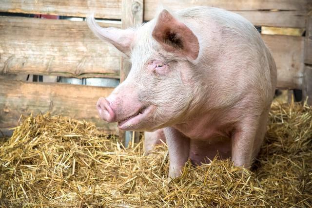 10月15~18日!全国猪价走势分析 全球新闻风头榜 第1张