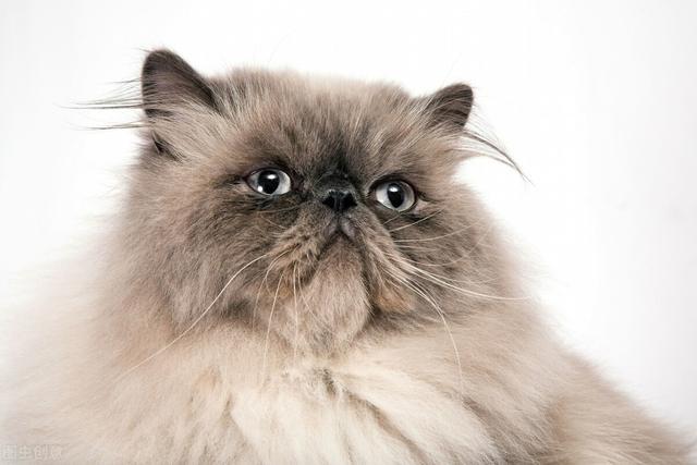 """波斯猫图片,想养""""波斯猫""""?先来了解它的六大缺点"""