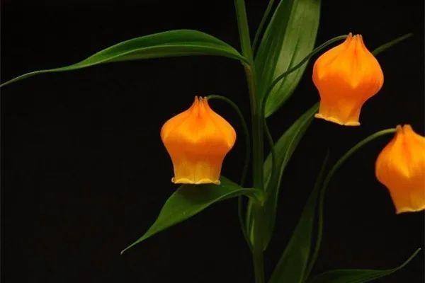 简单漂亮的花灯笼做法,5种灯笼花,开花特别可爱,养起来也很简单