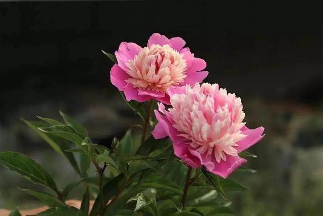 """芍药花图片,若要芍药顺利开花,需要分""""四季""""来养护"""