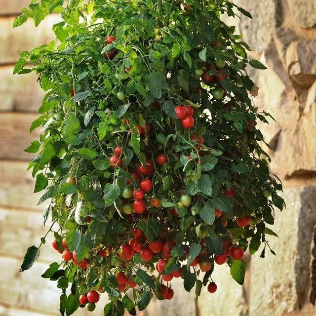 家里种棵果树,风水特好、镇宅守家,一次摘果一大筐
