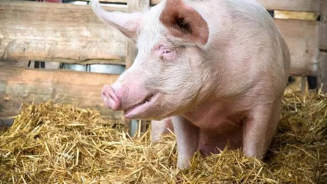 """属猪的是哪年,2021年是""""金猪年"""",还是""""铜猪年"""",看完心里有数了"""