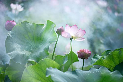 荷花的句子,关于莲花的那些优美句子