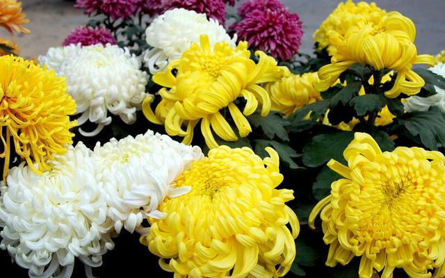 菊花 寓意,从屈原、陶渊明、史铁生笔下,看菊花意象在中国文化中的演变