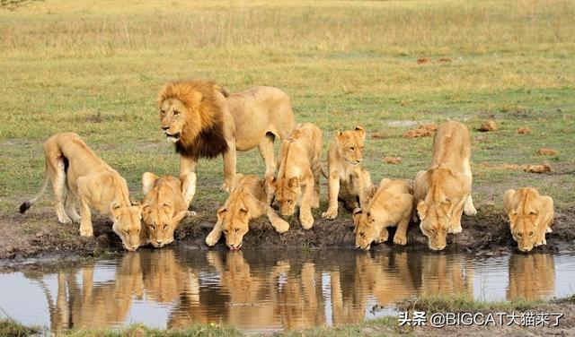 狮子图片,因捕食家畜被易位的狮子命运如何?大多数命运凄惨,活不过一年