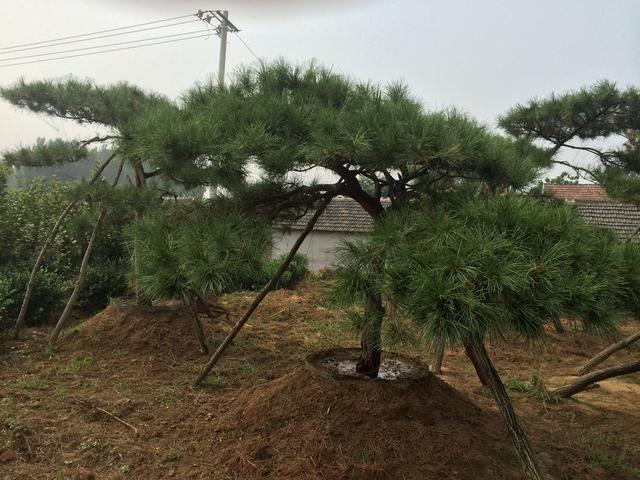 油松图片,如何栽植油松,这是门学问