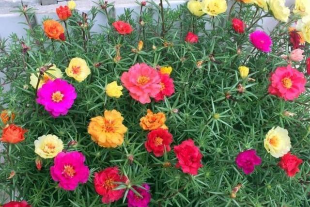 太阳花图片,太阳花好养又漂亮,做好这几件事,长得旺盛,花开满盆