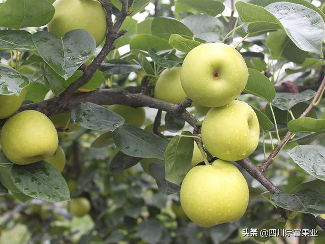 香蕉品种,梨树品种到底有多少?我国具有代表性的梨品种介绍来了「上」