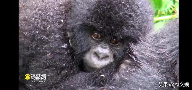 亚特兰大动物园的大猩猩COVID-19检测呈阳性 全球新闻风头榜 第2张