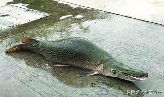 """雀鳝的吃法,寿命可达75年体长3米,""""臭名昭著""""的鳄雀鳝,为何现身广州?"""