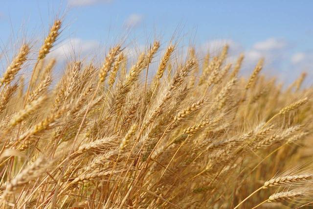 """玉米价格下跌,稻谷上演""""抛售潮"""",粮食价格要大规模下跌了吗?"""