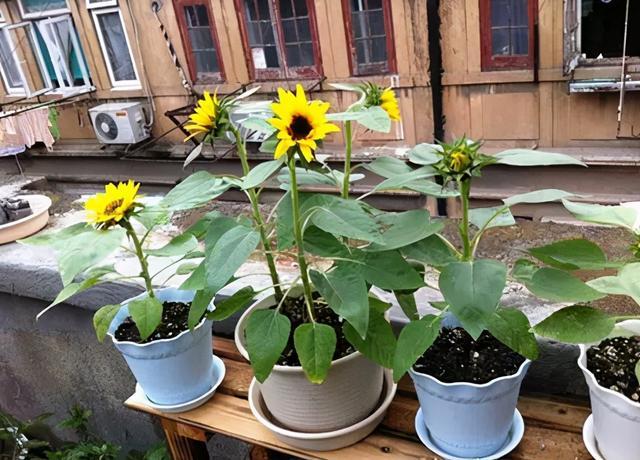 太阳花图片,盆栽向日葵居然这么美!花开爆满整盆,花粉过敏者看过来