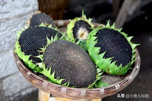 向日葵的特征,向日葵种植有讲究!掌握五大关键技术,花盘硕大,籽又多