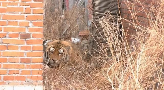 中国境内西伯利亚虎也有是多少只?