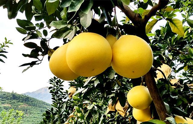 """柚子品种,都是柚子,""""红心""""和""""黄心""""有什么区别,为啥价格贵那么多?"""