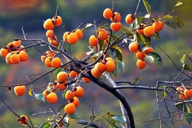 """院子里有空地,栽上6种""""观赏果树"""",好看还能吃水果"""