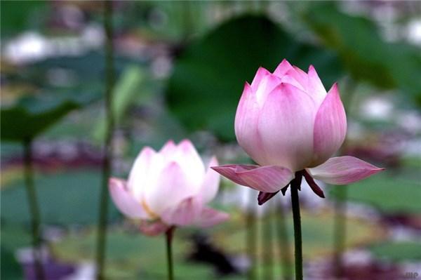 描写荷花的句子,经典句子:心如莲花,人生才会一路芬芳
