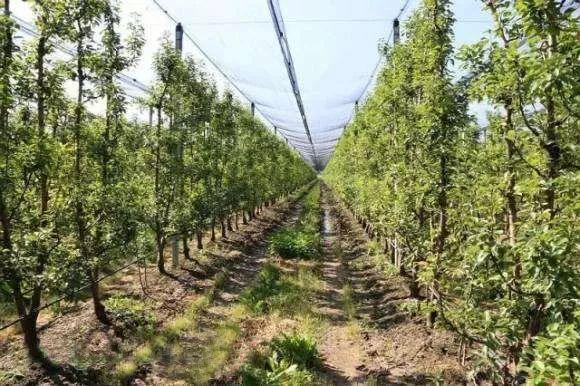 树形决定产量!史上最全果树树形大全