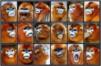 """图片识别,我国科研人员用""""猴脸识别技术""""识别秦岭金丝猴"""