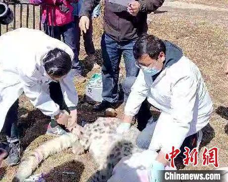 一只雪豹闯入青海门源农户家中 官方及时处置