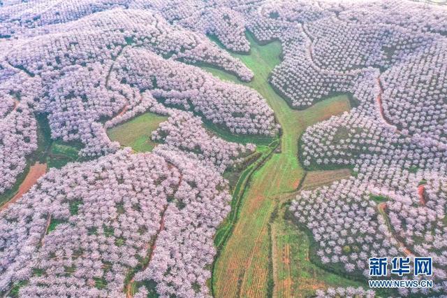 樱花的寓意,贵州安顺:樱花美景促振兴