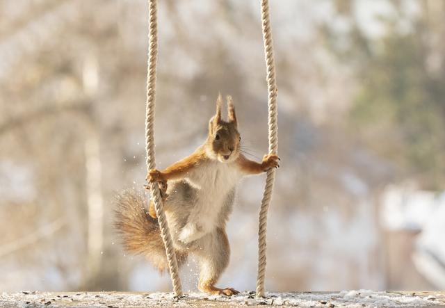 """松鼠的图片,国外红松鼠爬绳子秀高超""""体操技能"""""""
