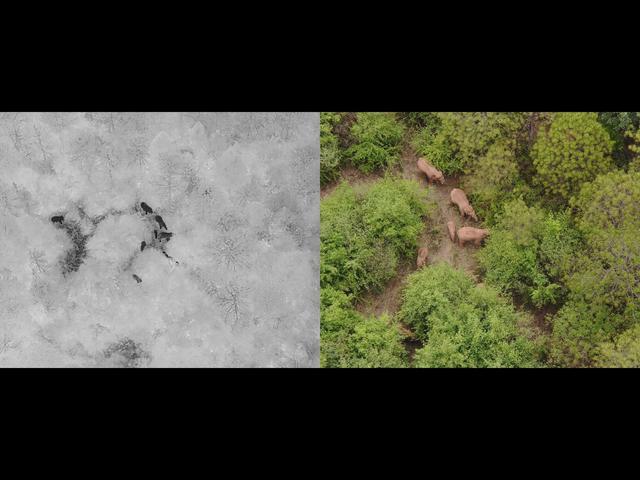 北迁象群在玉溪易门县十街乡活动,离群独象距象群约12公里 全球新闻风头榜 第1张