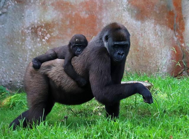 美国一动物园13只大猩猩新冠阳性 可能被饲养员传染 全球新闻风头榜 第1张