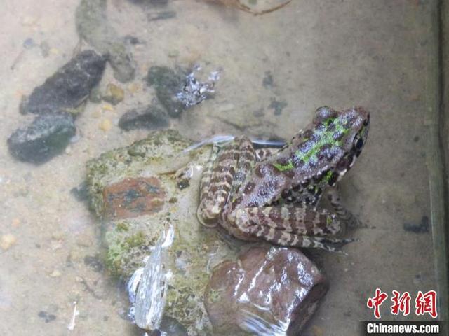 """生物多样性""""家谱""""扩容 杭州桐庐发现低危新记录种天目臭蛙 全球新闻风头榜 第1张"""