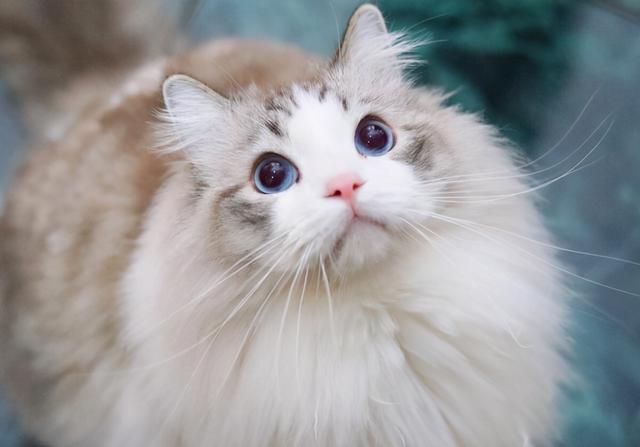 金漸層禍禍了布偶貓,這是生了一窩啥?不像爸也不像媽 家有萌寵 第1张