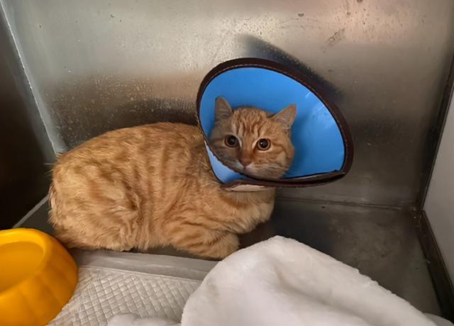 發現一隻斷尾橘貓,它渴望被愛,但又怕被傷害的樣子,太讓人心疼 家有萌寵 第8张