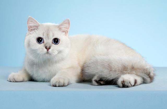 鉴定猫品种,如何判断猫咪的品相