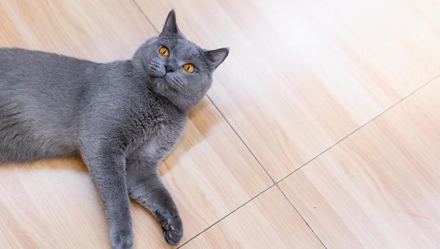 垃圾堆撿到一隻藍貓,細心照顧了一個月,病剛好,前主人來要貓了 家有萌寵 第1张