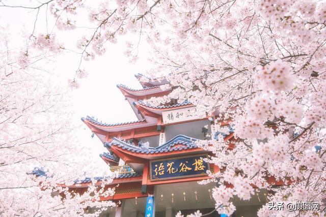 樱花图片,3月鼋头渚的樱花摄影,美到心颤!再也不用花钱去日本了