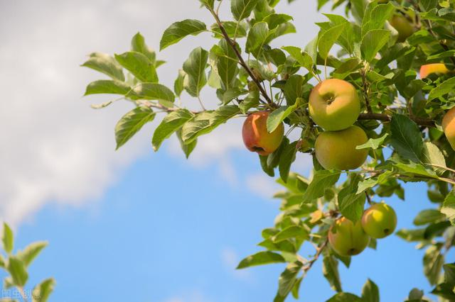 如何矮化果树?6种方法灵活选用,适宜于密植,减轻工作量