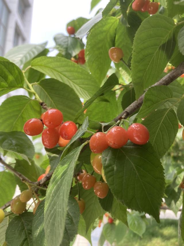 树苗图片,家里种棵樱桃树,5月份满树都是果子,摘都摘不完