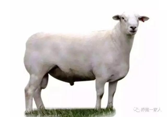 肉羊品种,澳洲白究竟什么绵羊,肉羊品种区别什么?