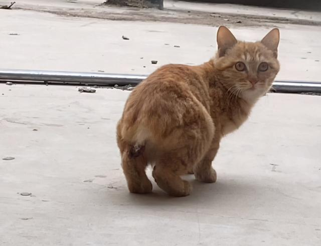 發現一隻斷尾橘貓,它渴望被愛,但又怕被傷害的樣子,太讓人心疼 家有萌寵 第1张