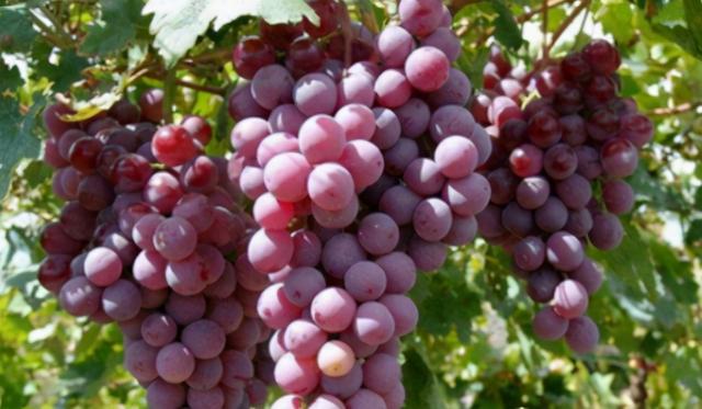 早熟葡萄品种,2021年发展哪些葡萄品种好?这五大品种考虑过吗?