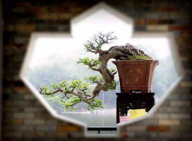"""怎么做造型,岭南盆景5种造型枝法,轻松打造""""多端变化""""的盆景作品"""