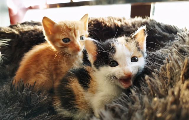 撿到一隻鴛鴦眼橘貓,貓很美,可一天後發現,我被它騙了 家有萌寵 第7张