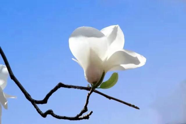 白玉兰花图片,望春花一一玉兰