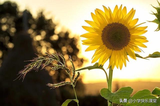 形容花的唯美短句,描写向日葵的好词好句好段,忍不住要摘抄