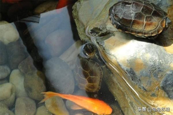 养龟为什么不能养双,乌龟可以混养吗?混养有什么危害吗?什么样的龟可以混养?