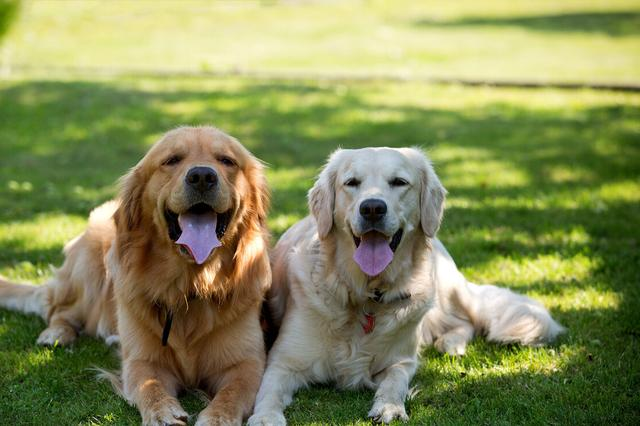 金毛犬图片,金毛犬的7大性格类型,你家的是哪种?