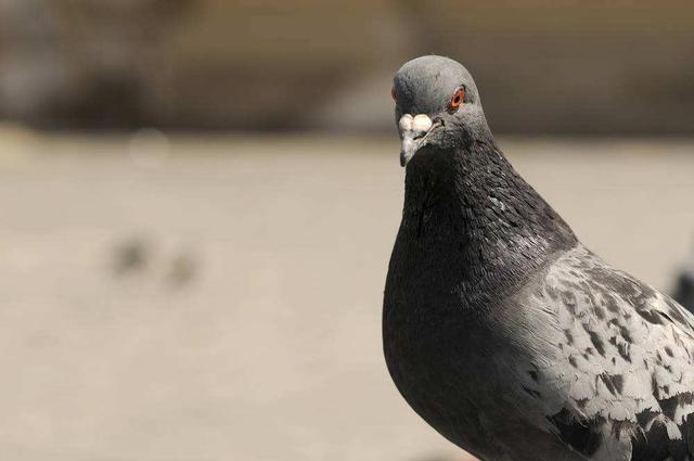 鸽子的寓意,一只鸽子的好与坏,就是这样分辨出来的,学到你就赚了