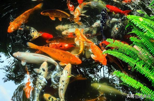 鱼类有哪些,风水鱼真存在?鱼缸放几条风水鱼好?哪些观赏鱼算是风水鱼?
