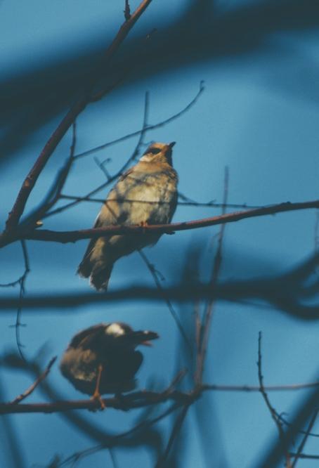 描写植物的现代诗,【现代诗歌】一树鸟鸣